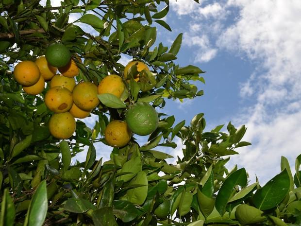 Plantação de laranja em Matão (Foto: Thayná Cunha/ G1)
