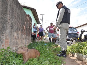 Capivara é capturada em João Pessoa (Foto: Walter Paparazzo/G1)