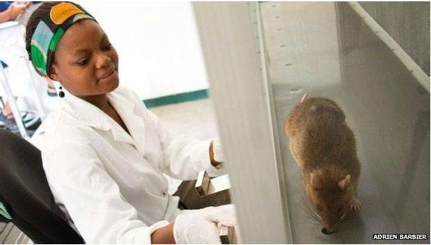 Ratos africanos são detectores precisos de tuberculose  (Foto: Adrien Barbier)