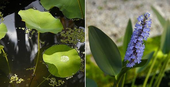 As espécies aquáticas estão em vasos a apenas 40 cm de profundidade da superfície da água. Ao fundo, abica, da Paglioto, faz a circulação da água. Na extremidade oposta, pinguins da coleção particular de Elkis (Foto: Evelyn Müller)