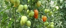 Produtores investem na valorização do tomate (Reprodução/ TV TEM)