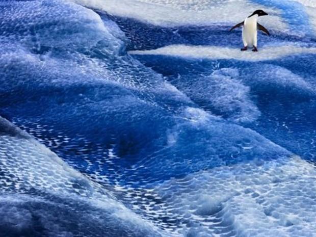 Penguim parece 'surfar' sobre a água congelada no Mar de Ross, na Antártida. (Foto: AFP/John Weller/Antarctic Ocean Alliance)