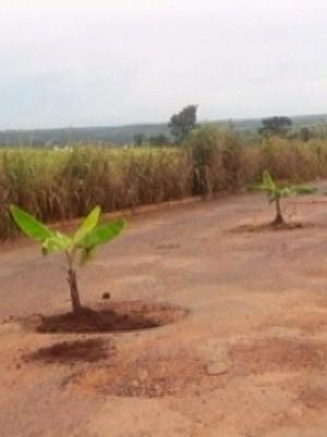 Bananeiras foram plantadas dentro de buracos na GO-305, em Goiás (Foto: Reprodução/TV Anhanguera)