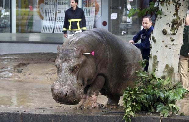Homem direciona hipopótamo que fugiu de zoológico na Geórgia após ele ser atingido por um tranquilizante neste domingo (14). A fuga ocorreu após fortes chuvas em Tbilisi (Foto: Beso Gulashviliingo/Reuters)