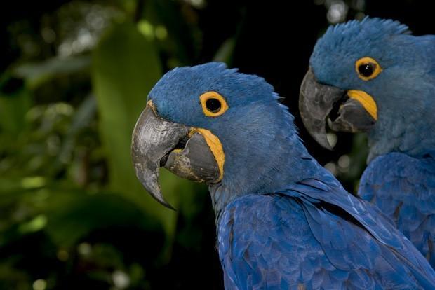A arara-azul é uma das espécies de aves que pode ser vista na região (Foto: Divulgação)