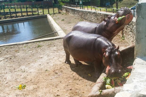 Casal de hipopótamos faz a alegria do hotel fazenda comandado por Marlene Mattos (Foto: Anderson Barros/EGO)