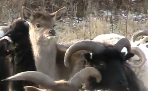 Veado se perdeu do bando e foi 'adotado' por rebanho de ovelhas (Foto: Reprodução)