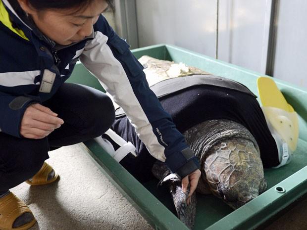 Yu, uma tartaruga feminina cabeçuda de aproximadamente 25 anos, nada após ter recebido seu 27º par de pernas dianteiras artificiais no Suma Aqualife Park em Kobe, no Japão   (Foto:  Toshifumi Kitamura/ AFP)