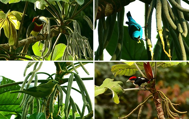 Aves embauba (Foto: Carlos Alberto Coutinho/ TG)