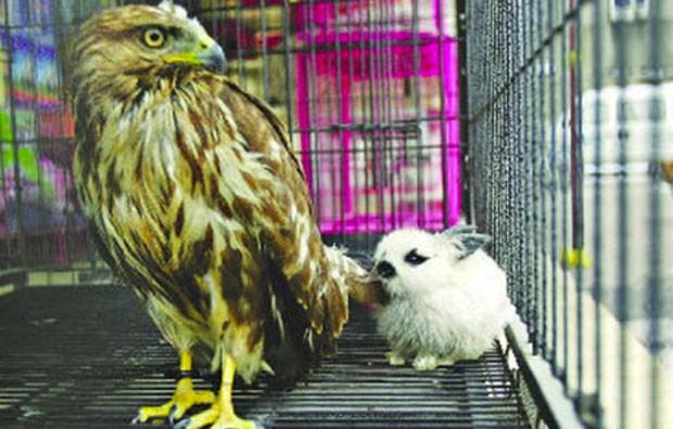 Na China, uma águia ficou 'amiga' de coelho servido para o almoço. Tratador jogou o bichinho para a ave comer, mas ela simpatizou com ele. Os dois dividiram a mesma gaiola na província de Zheng Zhou. (Foto: Reuters)