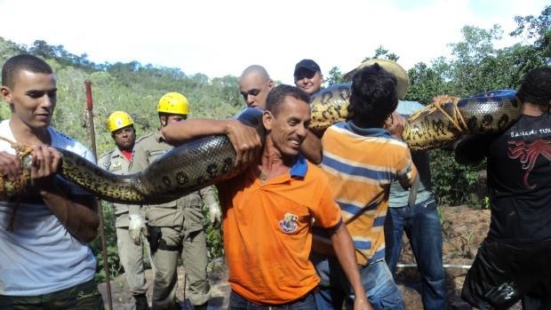 Cobra está em abrigo para animais silvestres e será devolvida à natureza nesta semana. (Foto: Pedro Fernando Santiago / Pq. Estadual da Serra Azul)