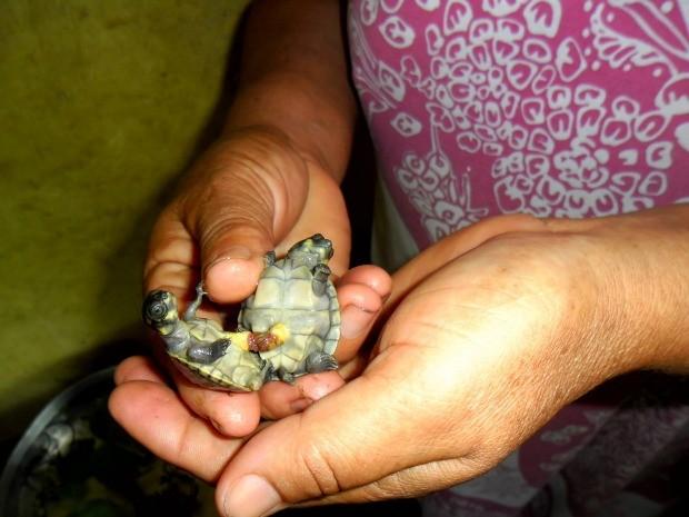 Filhotes de tartarugas da Amazônia nasceram ligadas pelo vitelo em comunidade de Parintins, no Amazonas (Foto: Divulgação/UEA - Anne Brandão )