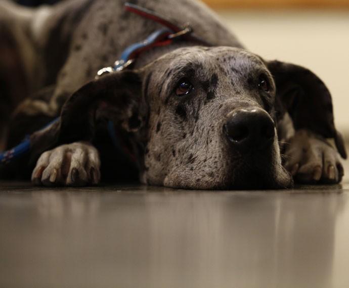 Apolo, o Tampinho de 'I Love Paraisópolis', é um cachorro da raça Dogue Alemão (Foto: Raphael Dias/Gshow)