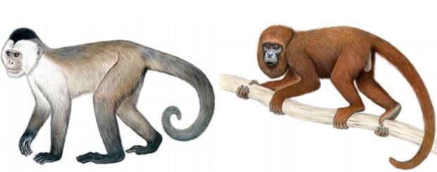 À esquerda, ilustração mostra exemplar de macaco-caiarara; à direita, um espécime de bugio-marrom. Ambas espécies brasileiras estão na lista dos 25 primatas mais ameaçados do mundo. (Foto: Reprodução/Relatório IUCN)