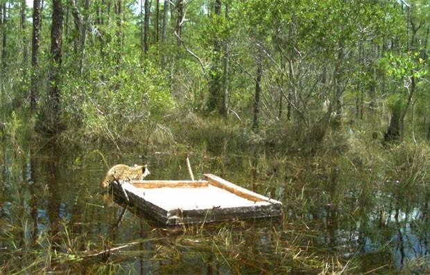 Na primeira foto, Guaxinim estava sobre uma tampa de madeira antes de o réptil atacar (Foto: Reprodução/Facebook/Florida Fish and Wildlife Conservation Commission)