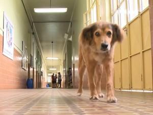 Cachorro adota escola em Uruguaiana e tem tratatamento pago por alunos, Amarelo percorre salas e corredores da escola Dom Hermeto há 16 anos (Foto: Reprodução/RBS TV)