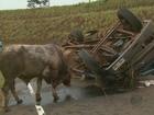 Caminhão com bois tomba em acesso à rodovia SP-255 em Dourado, SP