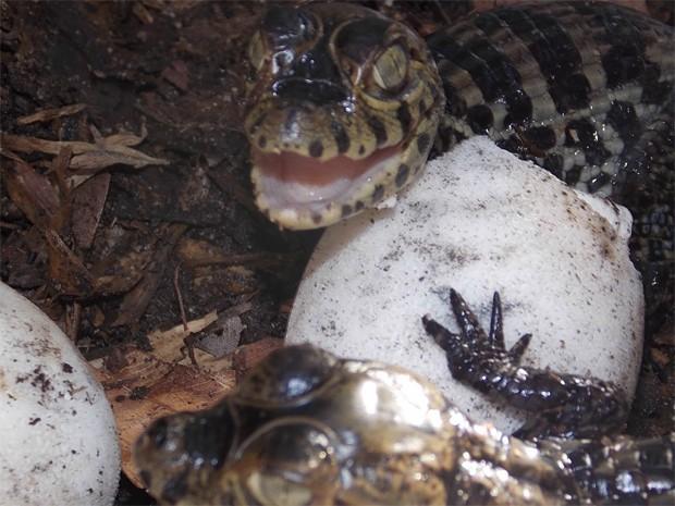 Jacarés passam por reprodução em cativeiro (Foto: Divulgação/Secom-JP)