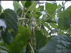No oeste da BA, chuva volta e traz esperança às lavouras de soja