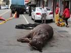 Hipopótamo fica ferido após saltar de caminhão em Taiwan