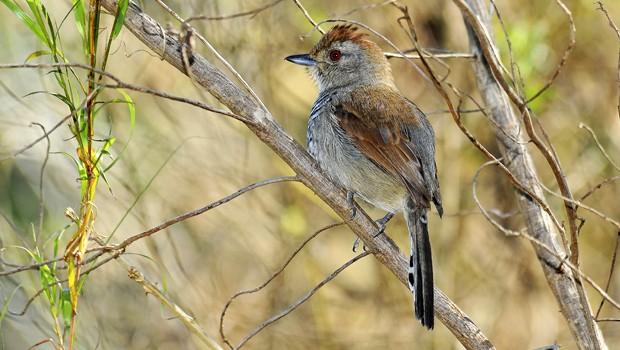 Matas secundárias ralas, capoeiras em regeneração, campos de altitude e áreas semiabertas são os territórios desta espécie (Foto: Rudimar Narciso Cipriani)