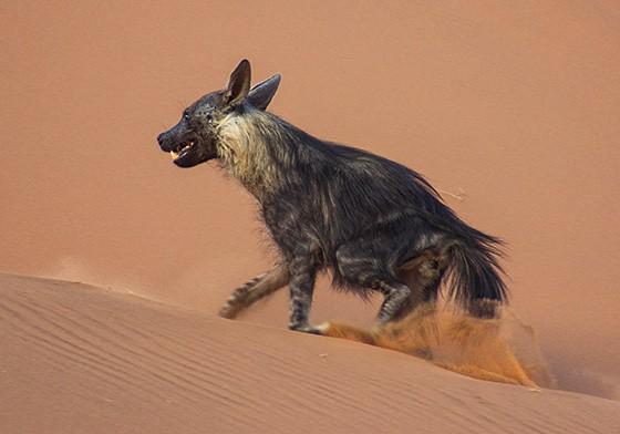 A hiena sobe uma das dunas para sair de Deadvlei  (Foto: © Alain Nevière Coimbra)