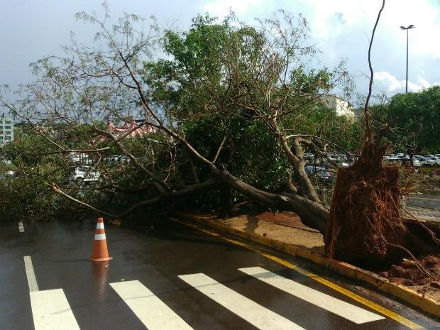 Chuva e ventos de até 72 km/h derrubaram árvores em Campo Grande nesta segunda (Foto: Graziela Rezende/G1 MS)