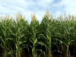 Cultivo de grãos tem avançado em Alagoas (Foto: Reprodução / TV Gazeta)