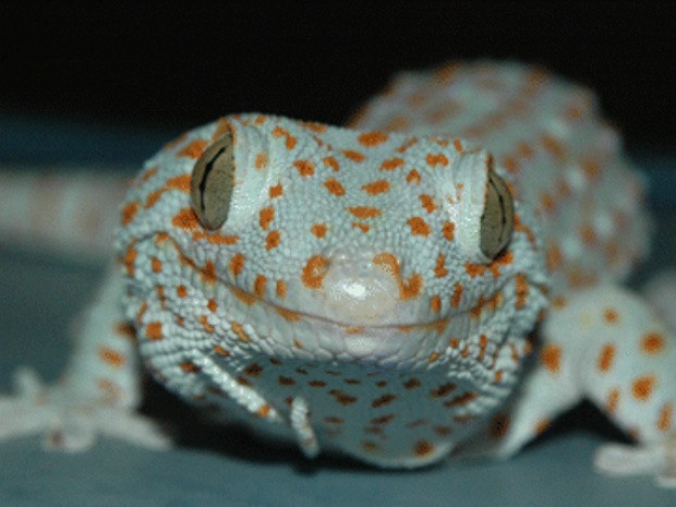 Lagartixa valendo (Foto: Edward Ramirez/Journal of Experimental Biology)