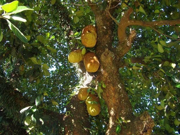 Os frutos desta espécie, enormes, podem causar estragos ao cair de maduros (Foto: Giselda Person / TG)