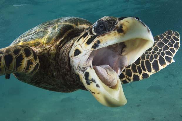Em 2011, o mergulhador britânico Adam Broadbent  fotografou uma tartaruga sorrindo nas Maldivas (Foto: Adam Broadbent/Barcroft USA/Getty Images)