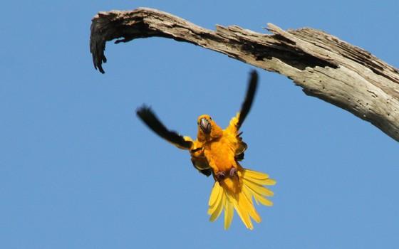 Guaruba, uma ave ameaçada de extinção que sofre impacto de áreas degradadas na Amazônia. Ela foi uma das espécies analisadas no estudo na Nature que ligou a degradação ao número de espécies em uma área de floresta (Foto: Alexander Lees/Divulgação)