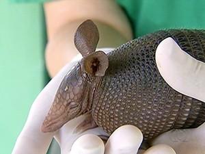 Além da preguiça, tatu também foi encontrado na cidade (Foto: Reprodução/TV Anhanguera)