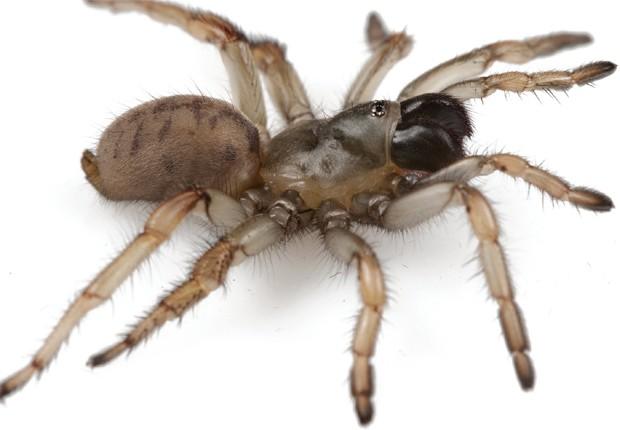 """Aranha fêmea da espécie 'Aptostichus cabrillo', recém-descoberta (Foto: Divulgação/""""ZooKeys"""")"""