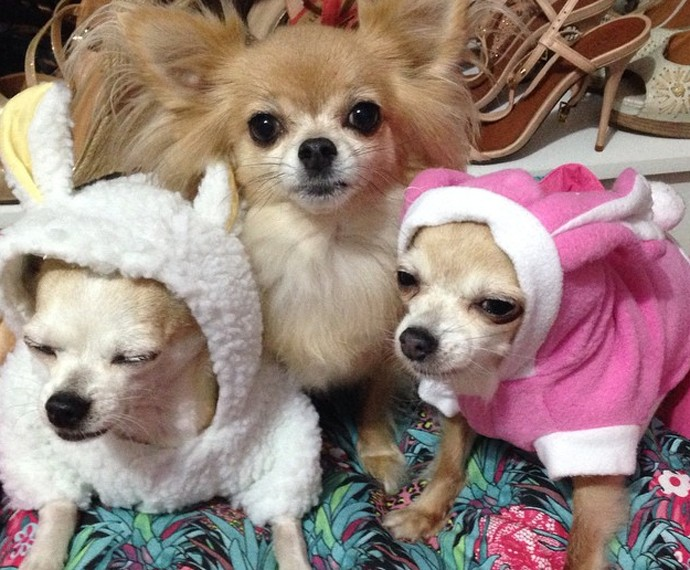 Chihuahuas são os xodós de Ana Carolina (Foto: Arquivo Pessoal)