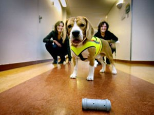 O beagle cliff foi treinado para identificar uma superbactéria pelo cheiro (Foto: VU University Medical Centre/via BBC)