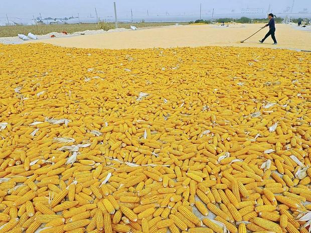 Um fazendeiro trabalha em espigas de milho recém-colhidas em Zhuliang província de Shandong, na China. (Foto: China Daily/Reuters)