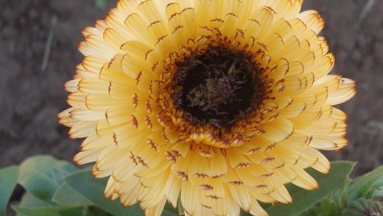 como_plantar_calêndula (Foto: Arquivo IAC)