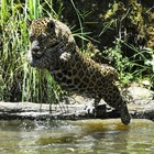 Picolé e banho aliviam calor em zoológico (Halder Ramos/Divulgação)