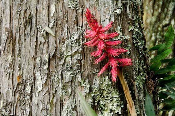 Flor bromélia no tronco de uma árvore  (Foto: © Giselle Paulino)