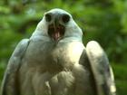 Refúgio no Paraná inaugura primeiro viveiro coletivo de harpias do mundo