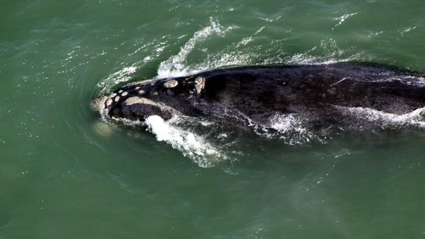 Projeto registra recorde de baleias avistadas no litoral de SC (Foto: Paulo Flores/ICMBio/PBF-Brasil)