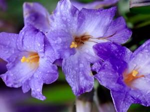 Flor da espécie Candombá é típica da Chapada Diamantina (Foto: Reprodução/TV Bahia)