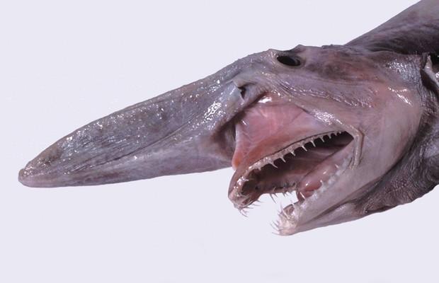 Um dos traços mais marcantes do tubarão-duende é sua mandíbula retrátil (Foto: Wikipedia )