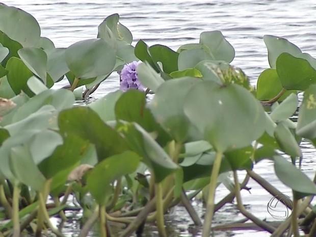 Folha do camalote, típico do Pantanal de Mato Grosso do Sul (Foto: Reprodução/ TV Morena)