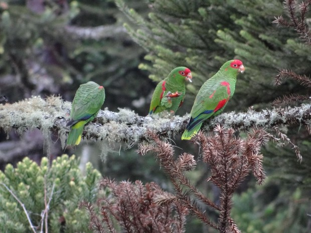 Papagaio-charão RS Nossa Terra (Foto: UPF/Divulgação)