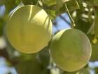 Melhoramento genético faz ressurgir variedade de laranja típica do Ceará
