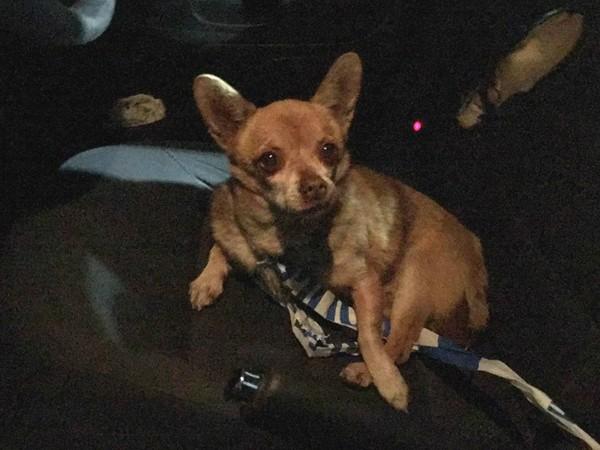 Chihuahua foi preso pela polícia da Irlanda (Foto: Reprodução / Facebook)