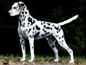 Dálmata é uma das raças que participa da Exposição de Cães, em Goiânia (Foto: Divulgação/Edmilson Reis)