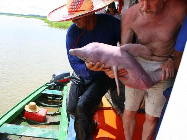 Botos são capturados por pescadores e utilizados como iscas na pesca do piracatinga (Foto: Divulgação/Ampa)